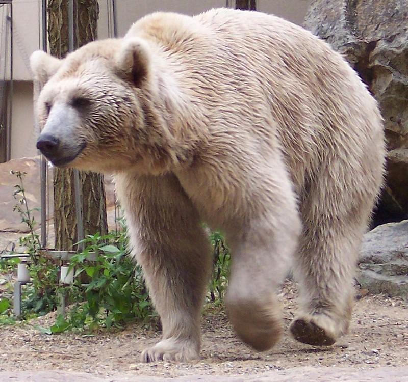 Сирийский медведь