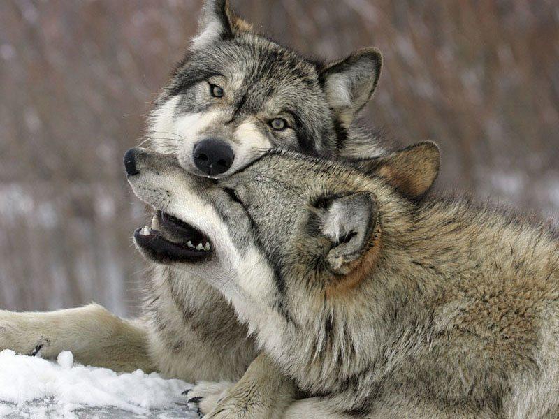 Рост и развитие волка, линька волка