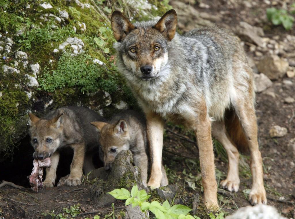 Норы и убежища волков