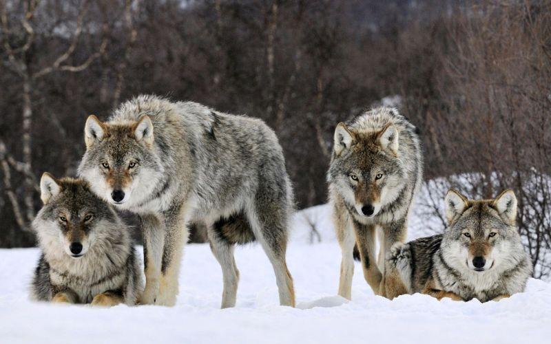 Суточная активность и поведение волков