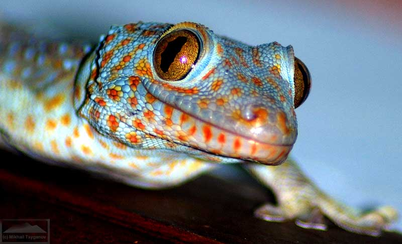 Удивительные гекконы