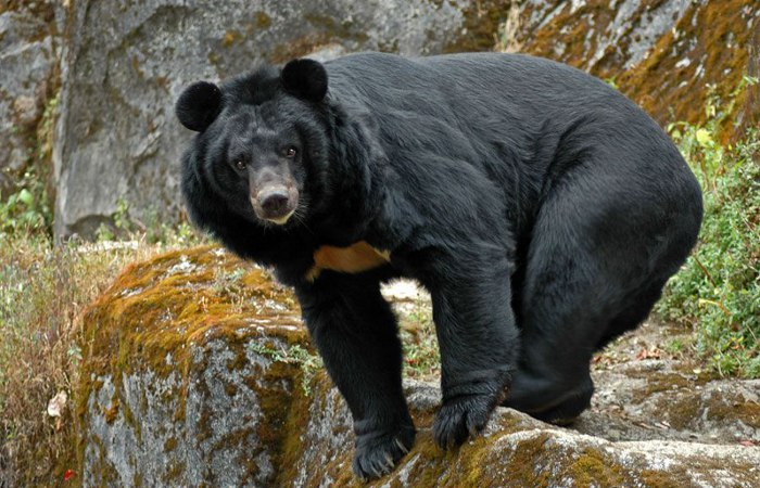 Белогрудый, черный медведь