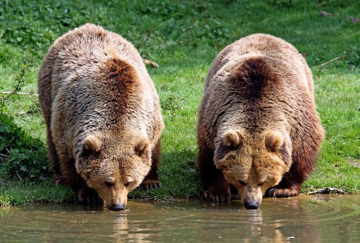 Враги, болезни, паразиты и смертность бурого медведя