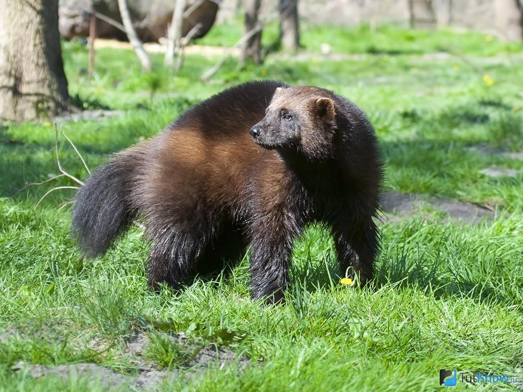Росомаха: описание животного