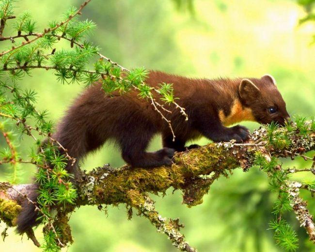 Места обитания лесной куницы