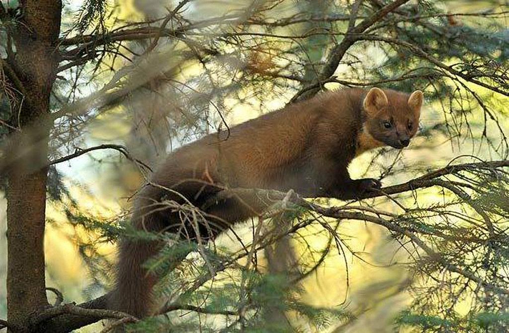 Участок обитания лесной куницы