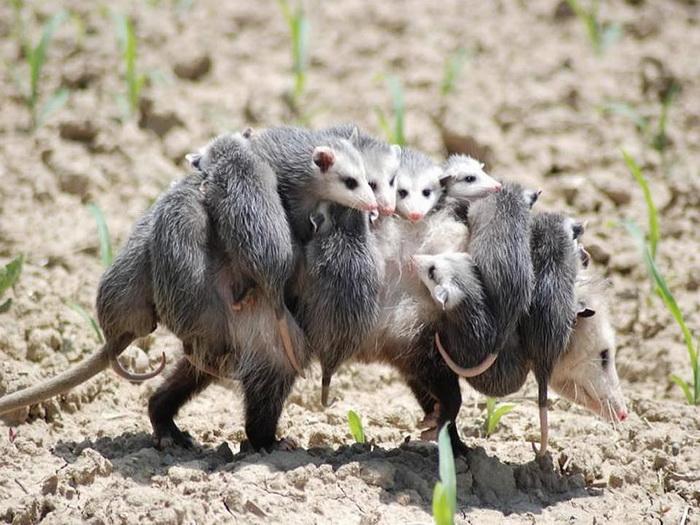 Ясли и няньки у животных