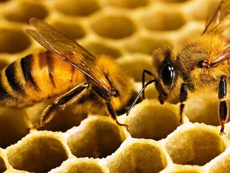 Как пчелы строят соты и ульи