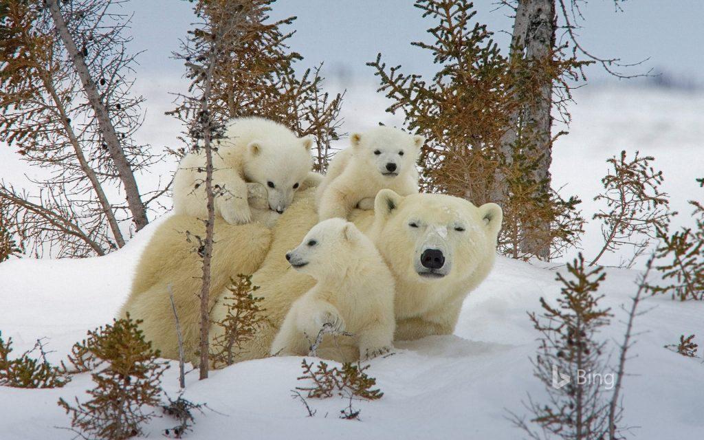 Белые медведи и плащ-неведимка