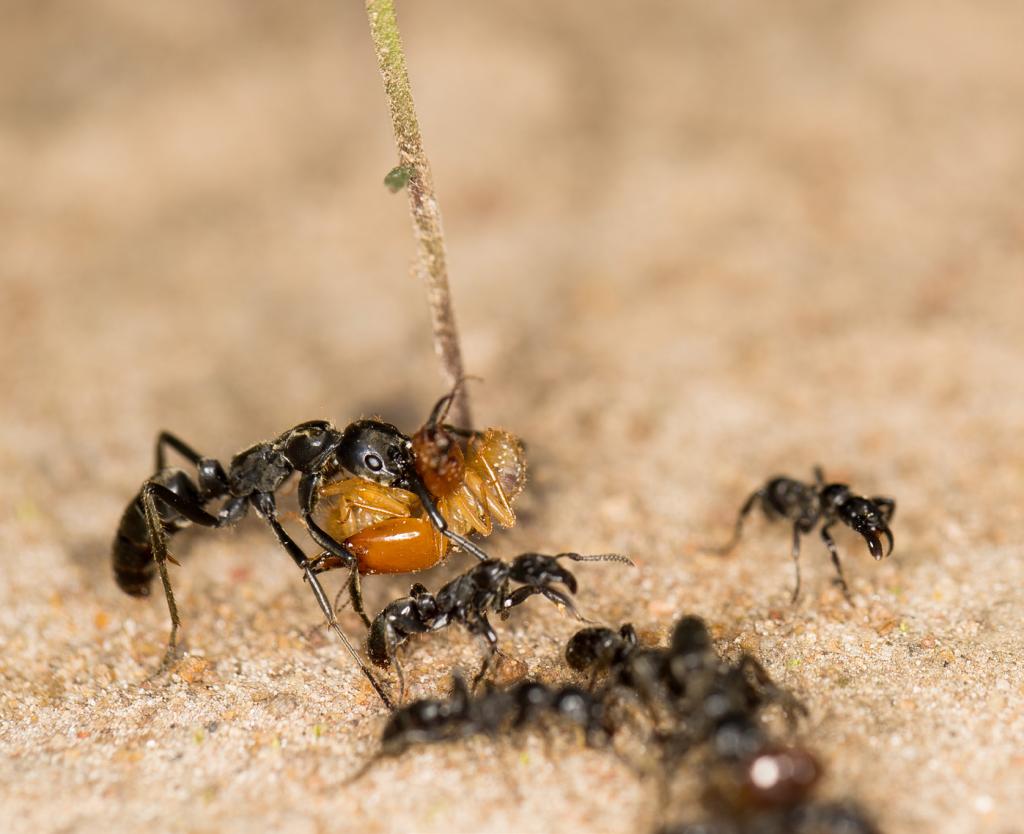 Все как у людей: муравьи выносят раненых бойцов с поля боя, а потом еще и лечат