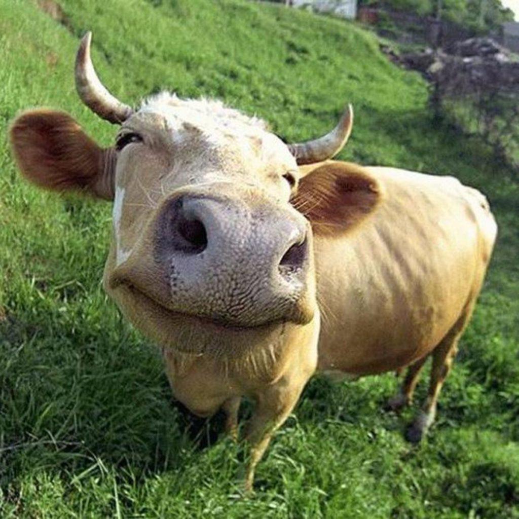 Радиоактивные коровы