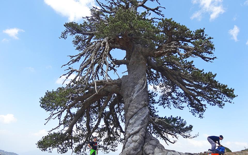 Старейшее дерево Европы