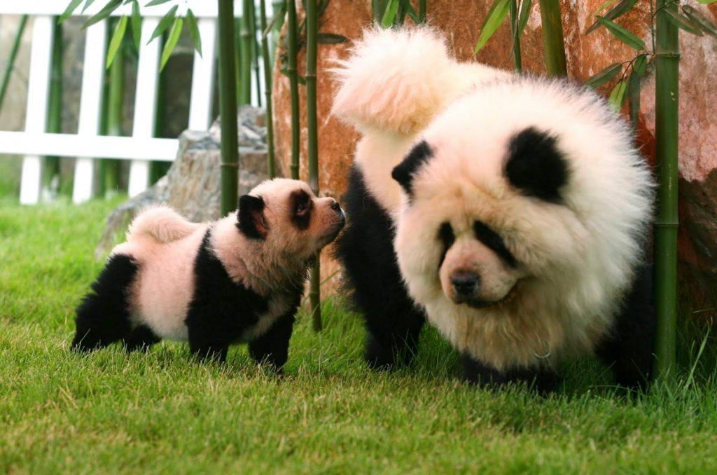 Панды - не настоящие!