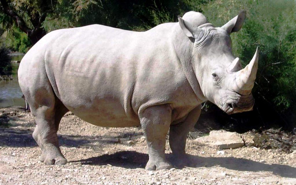 Умер последний белый носорог