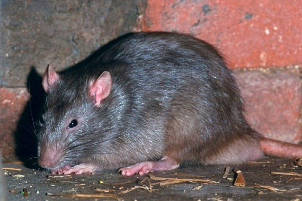Британию атакуют крысы-мутанты