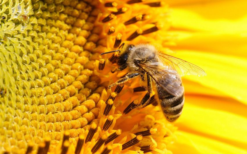Ни пчел, ни меда - скоро мы лишимся этого дара природы