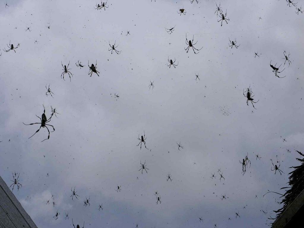 В Австралии шел дождь из пауков