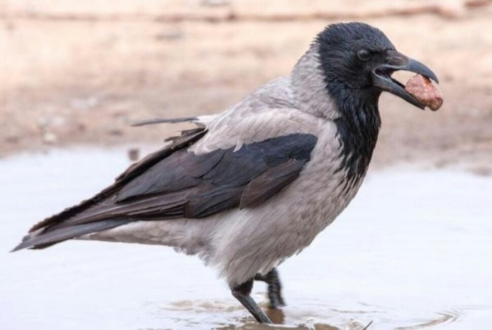 Ворона - виртуоз по части краж