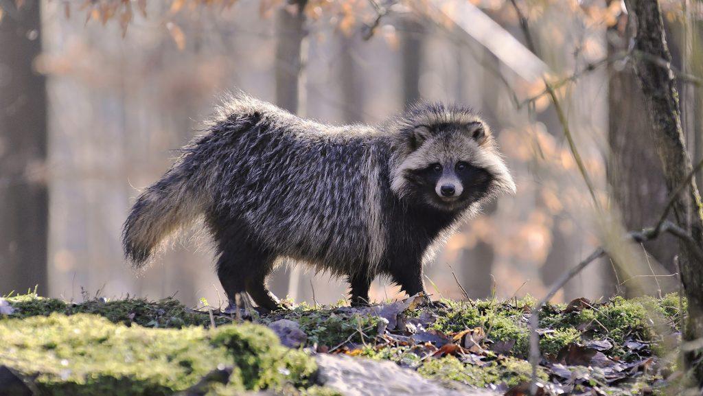 «Чужие» в СССР - искусственное расселение животных на территории страны