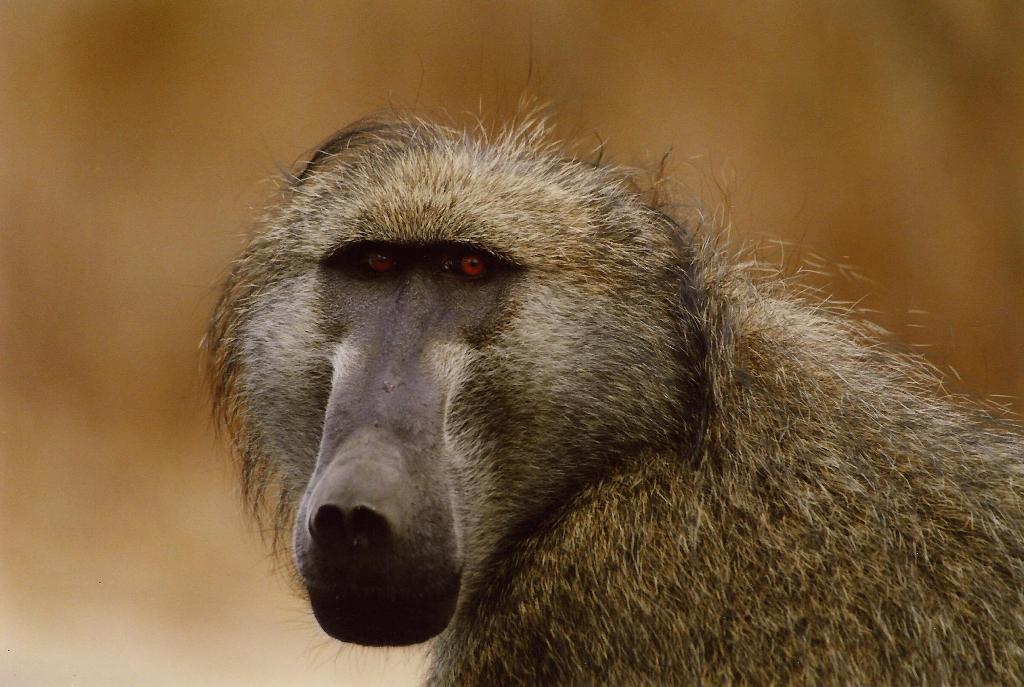 Ученые пересадили бабуину донорское сердце свиньи