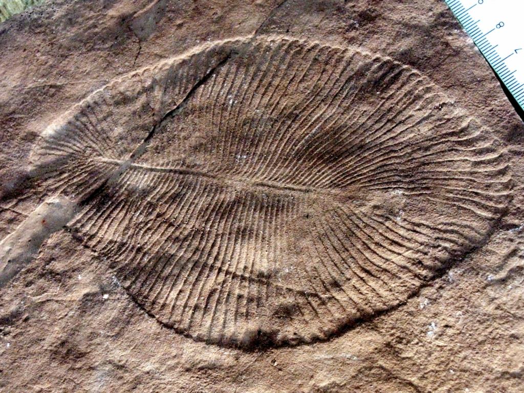 Дикинсония - самое древнее крупное животное