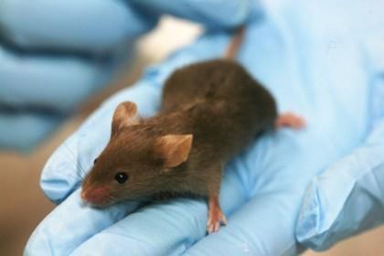 Омоложение мышей