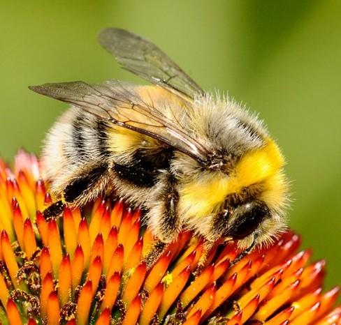 bumble-bee--xxxcmelak_dsk2780