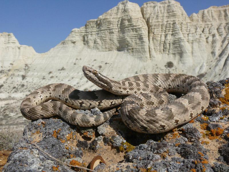 Обыкновенный щитомордник, или щитомордник Палласа (Gloydius halys)