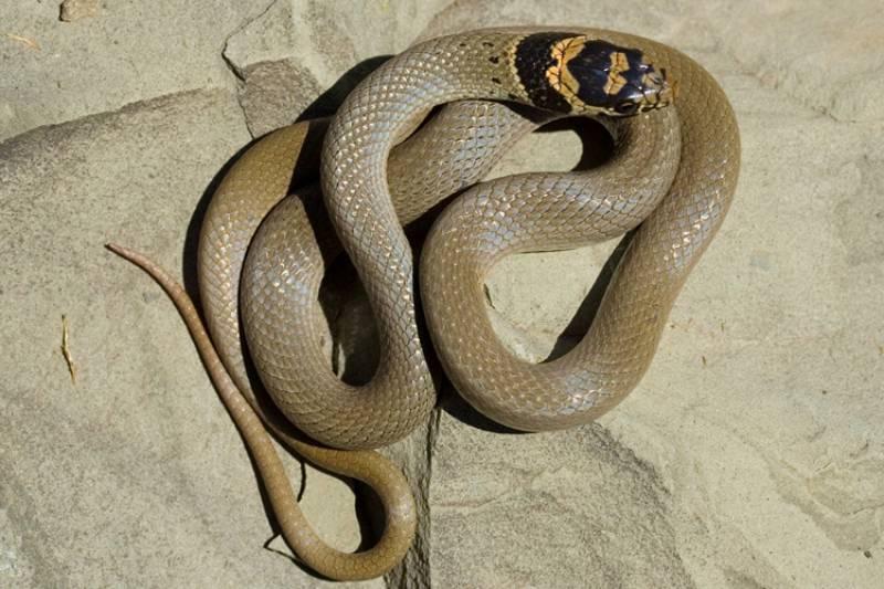 Смирный эйренис (Eirenis modestus)