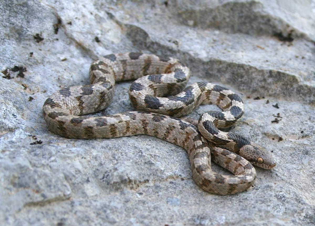 Кошачья змея (Telescopus fallax)