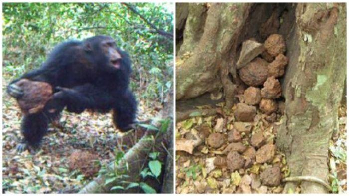Ритуалы шимпанзе