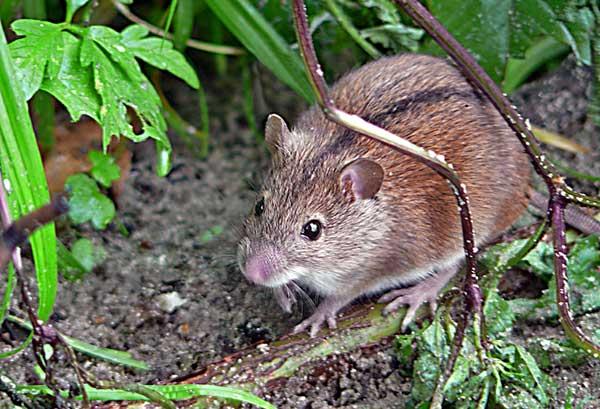 Степная и темная мышовки (Sicista subtilis и Sicista severtzovi)