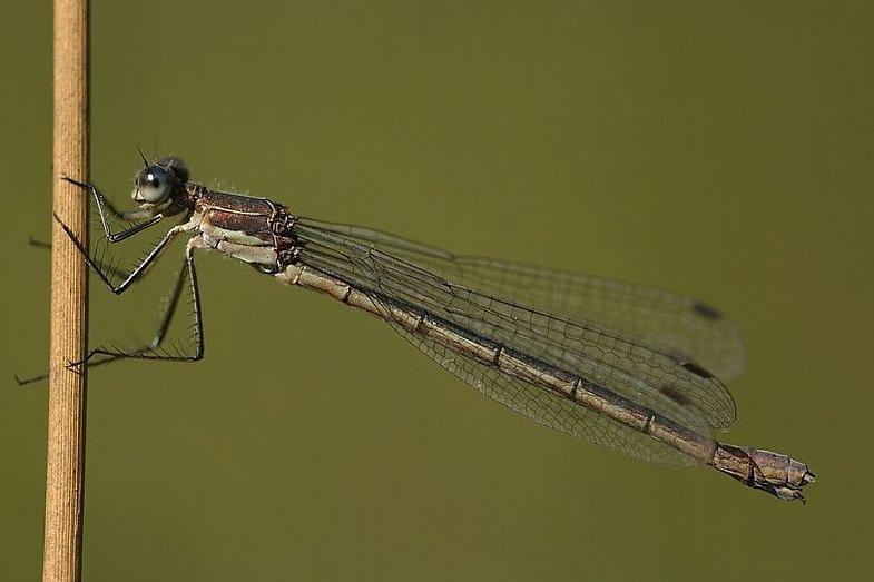 Семейство лютки (Lestidae)