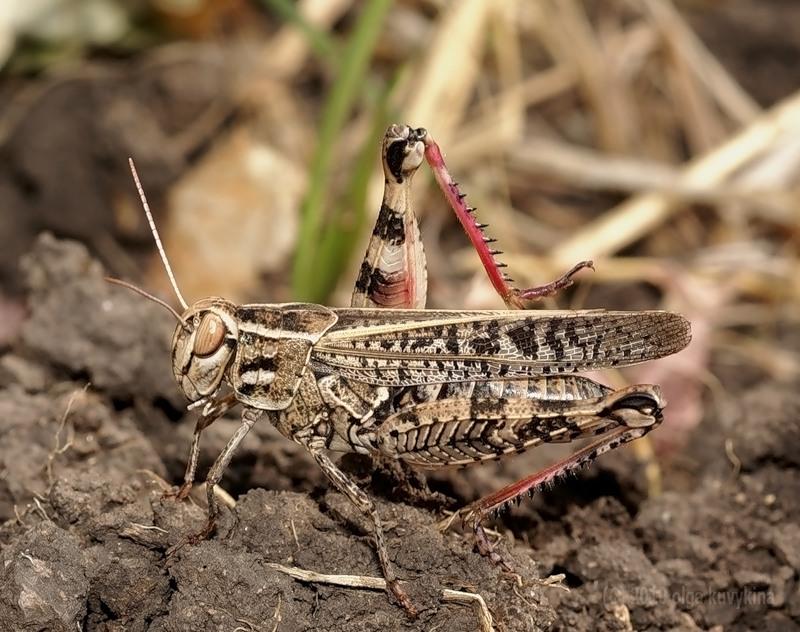 Семейство настоящие саранчовые (Acrididae)