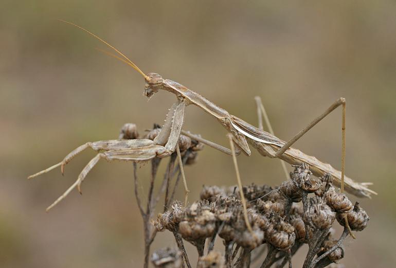 Семейство настоящие богомолы (Mantidae)