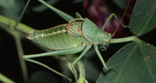 Подсемейство листовые кузнечики (Phaneropterinae)
