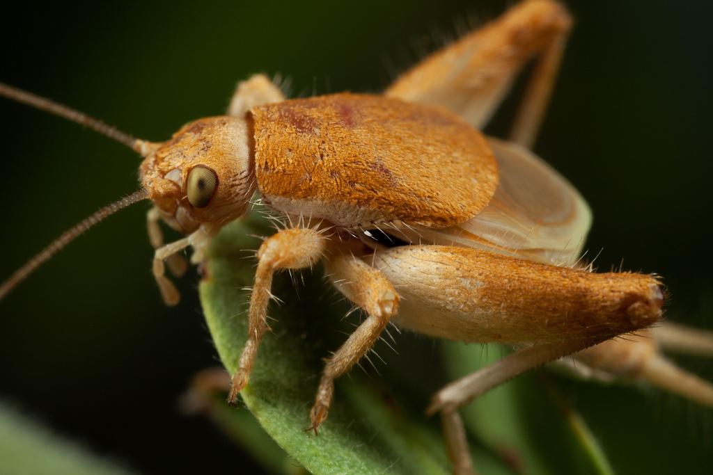 Семейство чешуйчатые сверчки (Mogoplistidae)