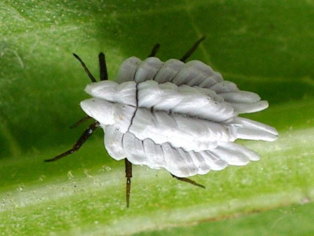 Семейство пластинчатые червецы, или ортезии (Ortheziidae)