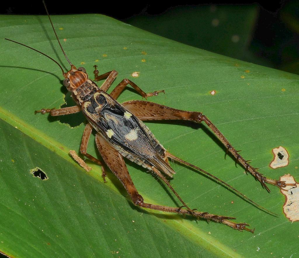 Надсемейство сверчковые (Grylloidea)