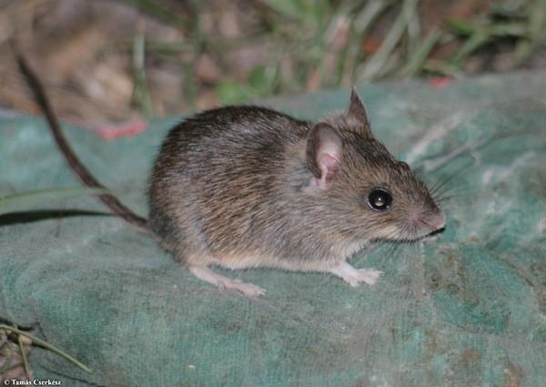Малая лесная, или палласова мышь (Sylvaemus uralensis)