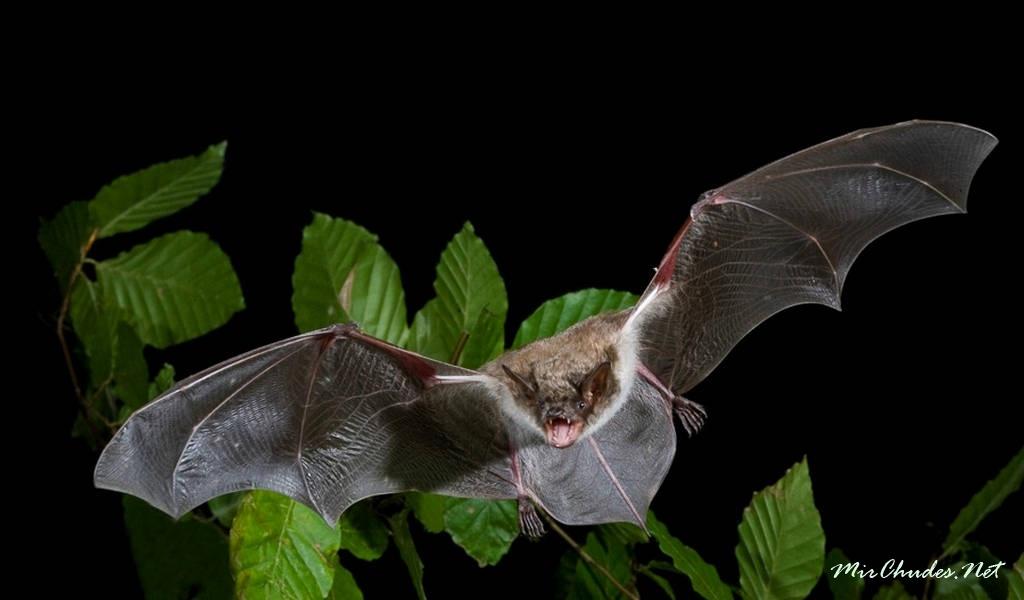 Род Ночницы (Myotis)