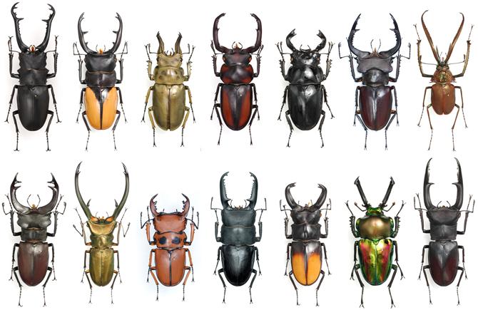 Жуки рогачи (Lucanidae)
