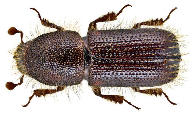 Жуки короеды (Scolytidae)