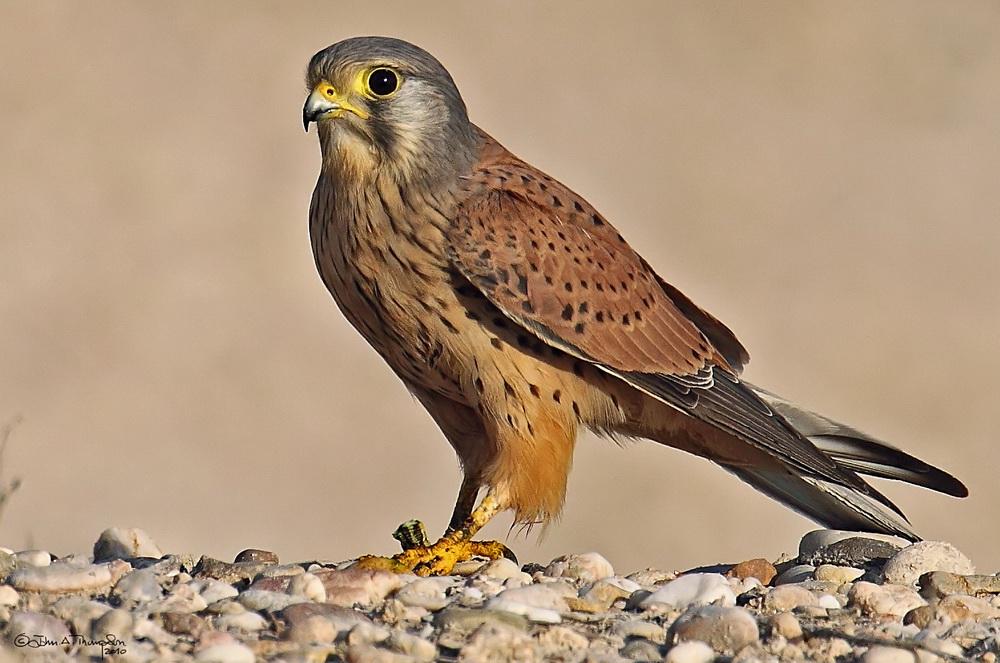 Пустельга обыкновенная (Falco tinnunculus)