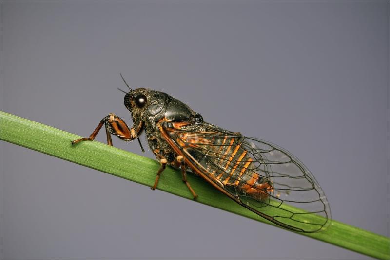 Семейство настоящие, или певчие цикады (Cicadidae)