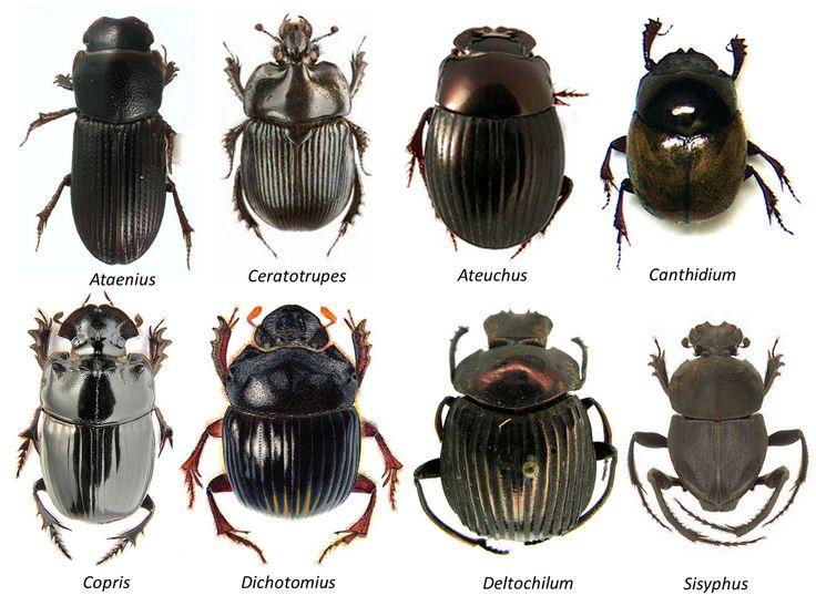 Пластинчатоусые жуки (Scarabaeidae)