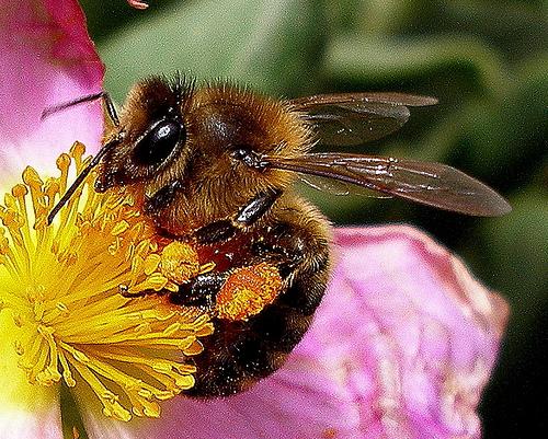 Надсемейство пчелиные (Apoidea)