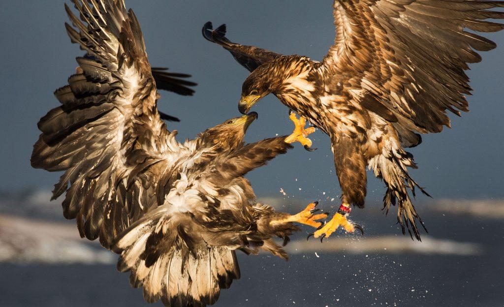 Хищные птицы (Accipitres)
