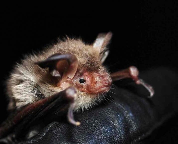 Усатая ночница (Myotis mystacinus)