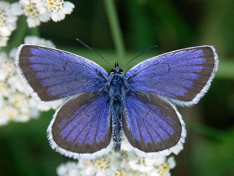 Семейство голубянки (Lycaenidae)